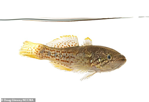 Asouthern purple spotted gudgeon aka 'zombie fish' looking very much alive