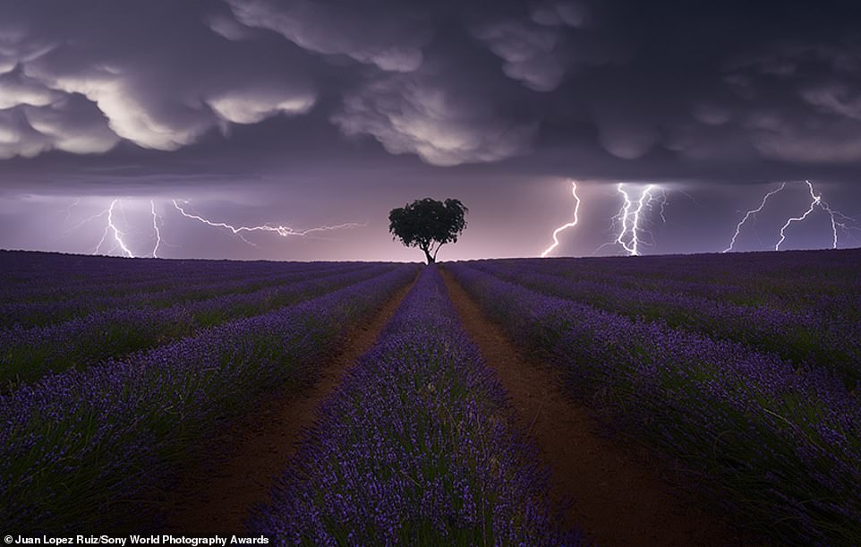 An electrifying image of a lightning storm above a solitary tree in a lavender field in the province of Guadalajara, Spain. It was taken by Spanish photographer Juan Lopez Ruiz and it earned him gold in the landscape category. It's also MailOnline Travel's pick of a very special bunch