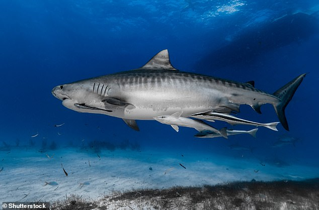 Tiger Shark (Galeocerdo cuvier) swimming over the reef. The species could circle to find food (stock image)