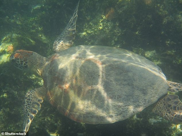 Narazaki's team first discovered the mysterious circling behaviours in homing green turtles during a displacement experimentu00A0(stock image)