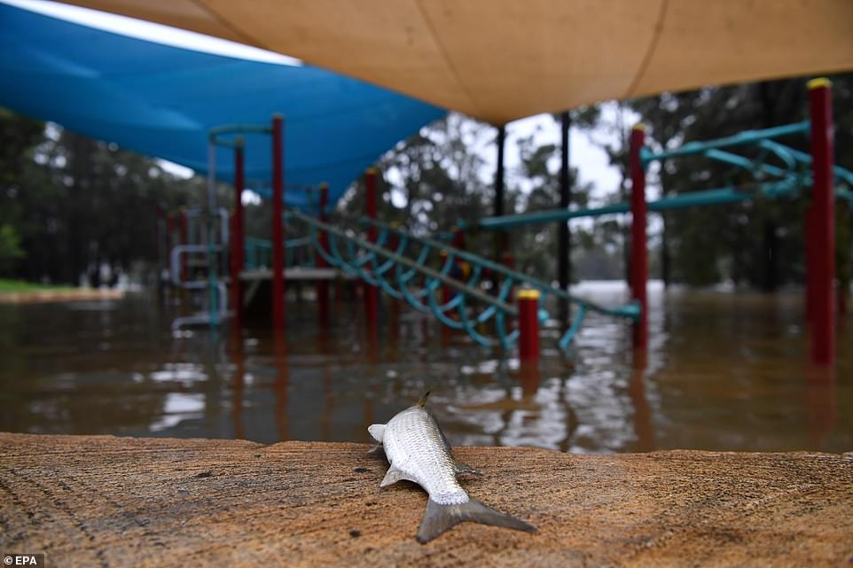 A dead fish is seen on the edge of au00A0semi-submerged children's playgroundu00A0on the banks of the flooded Nepean River