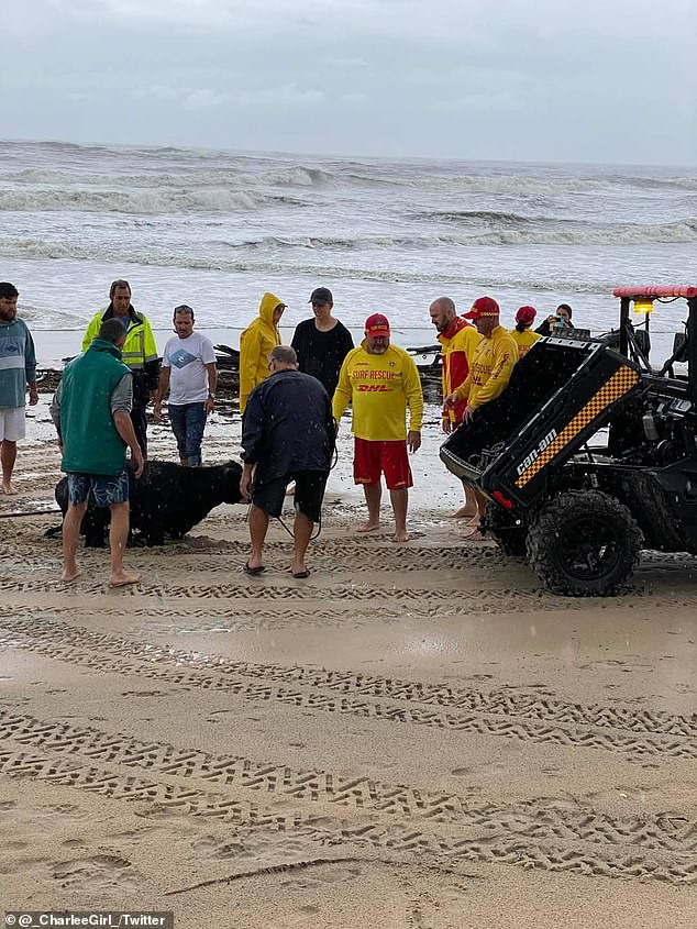 Patrons at Old Bar Taree surf club saved a cow (pictured) after it was washed up on their beach on March 20