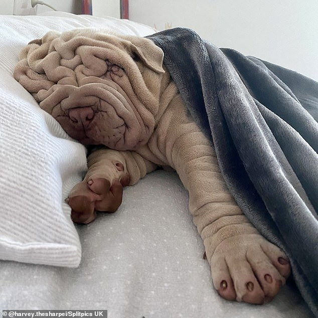 Native to the Far East, Shar Pei had fewer wrinkles on the skin, but over time breeders sought more and more of them.