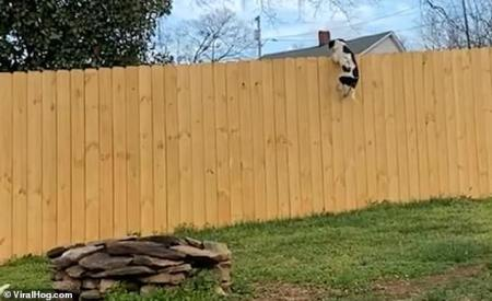 WATCH: Puppy Astonishes Owner when he Takes a Running Jump at 10ft Barrier