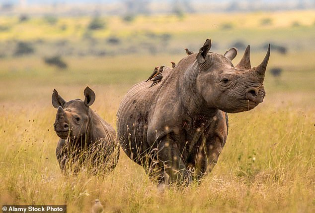 Threat: Black rhinos are endangered after years of hunting and poaching for their horns. There are just 5,500 around today – down from 65,000 in 1970