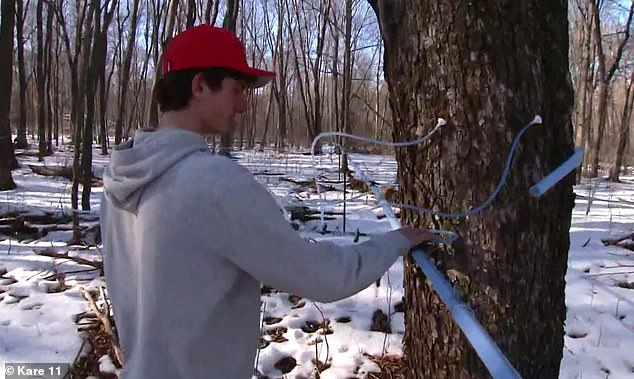 Big business: Will has gone from having a few tapped trees in his yard to monitoring roughly 3,000 taps on several parcels of forest land owned by his family and neighbors