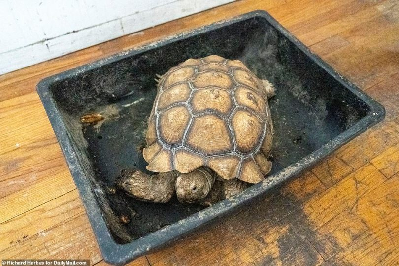 Kame-san, which means Mr. Tortoise in Japanese, was 'saved' by a neighbor who has been feeding him for two months