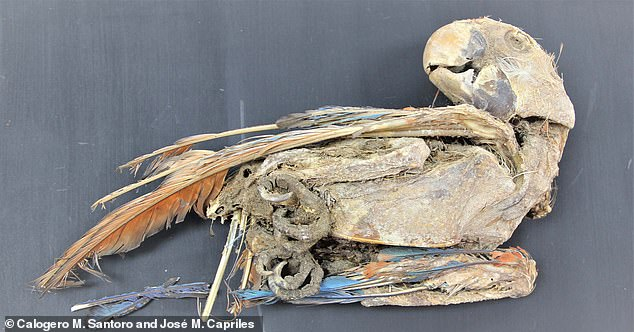 Parrots were carried across the Andes almost 1,000 years ago so vendors could sell their colourful feathers to customers in the Atacama desert, a study has found
