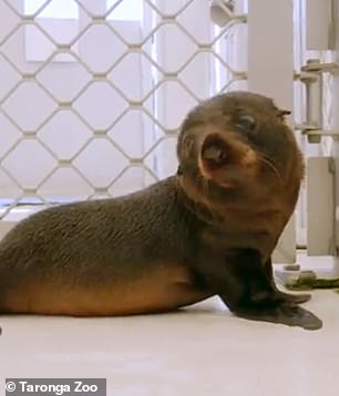 Birubi is the firstt long-nosed fur seal born at Sydney's Taronga Zoo in more than 20 years