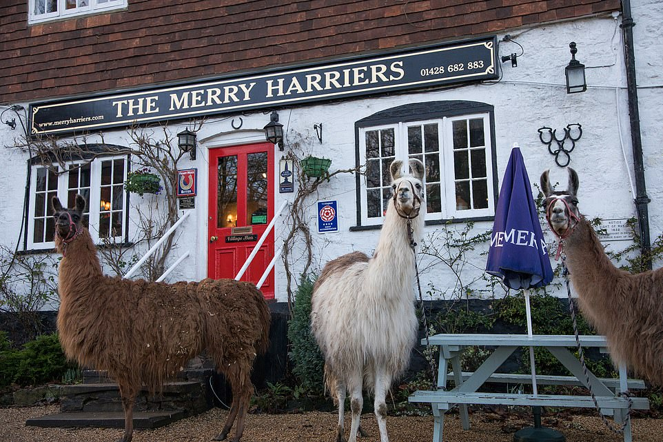 The resident llamas at The Merry Harriersin Hambledon, Surrey. Theyaccompany guests on walks and will even carry a picnic hamper