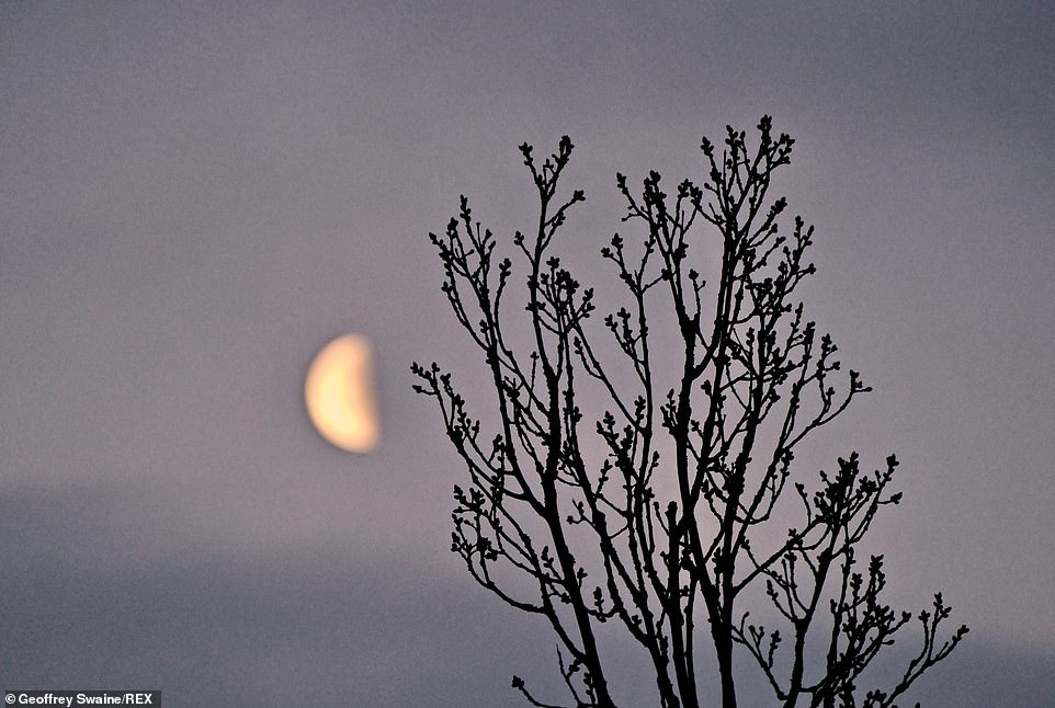The waning gibbous moon is visible at daybreak on a cold Easter Sunday morning in, Dunsden, Oxfordshire