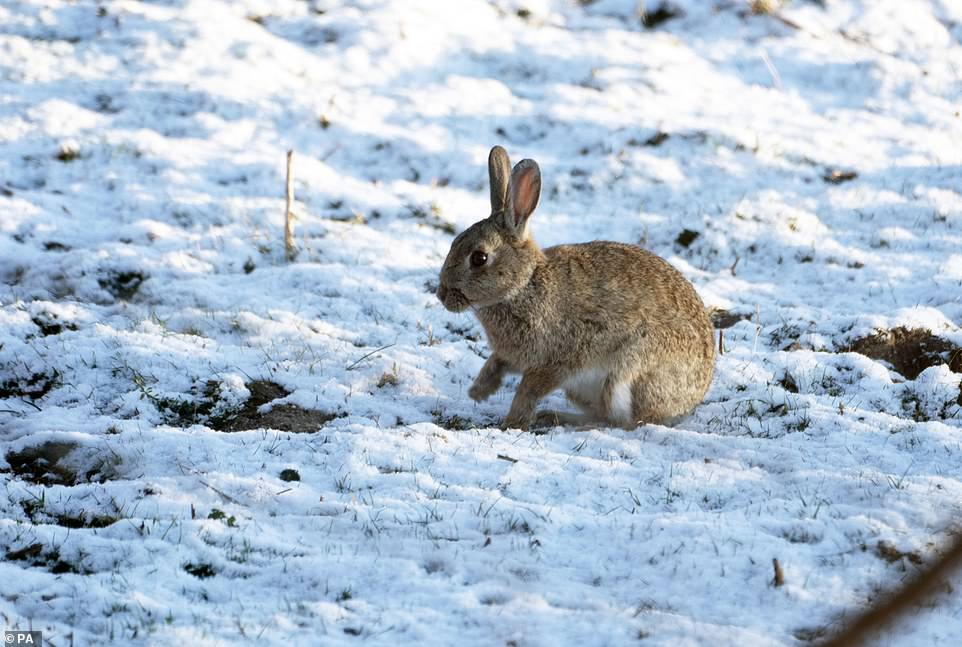 NORTHUMBERLAND: A rabbit sits a field of snow that fell overnight on Easter Monday in Slayley, Northumberland as temperatures plunged from the weekend's mild weather