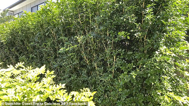Social media users have been left baffled after Australian snake catchers challenged them to spot a serpent hiding in a backyard bush (pictured)