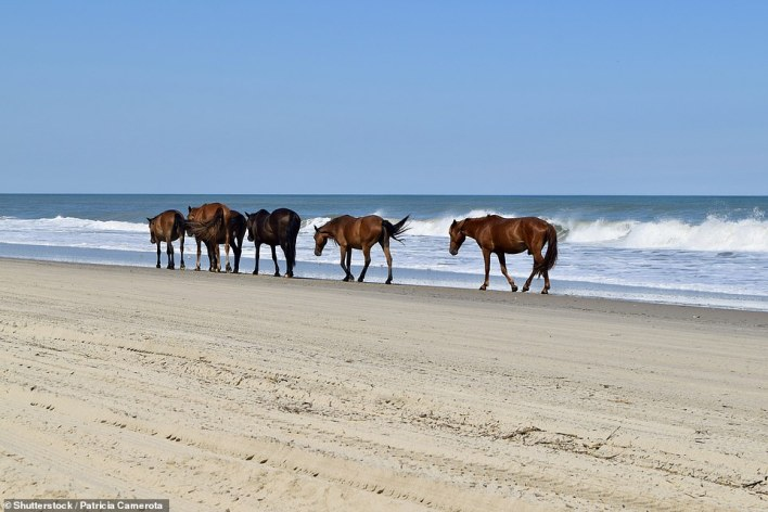 Wild horses were brought to the Outer Banksby the Spanish and abandoned centuries ago. Now around 120 remain in the town of Corolla, pictured