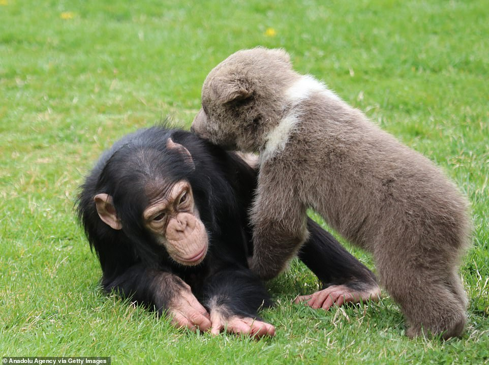 Adorable images show Boncuk locked in an embrace with Chimpanzee Can. Others show the unlikely friends playing together