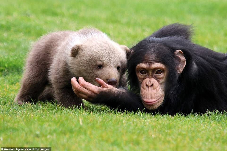 Rescue bear cub Boncuk, a new resident of the Gaziantep Zoo, is seen with his friend Chimpanzee named 'Can'