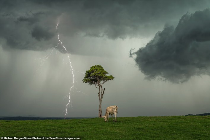 This mesmerising image was taken by Michael Morgan outside the rural town of Maleny in Australia. It took second place in the photo of the year category. It was praised by the judges for being more like a 'fine art photograph' with a 'beautiful composition of a lone tree, a grazing cow and a distant lightning bolt against a stormy sky'