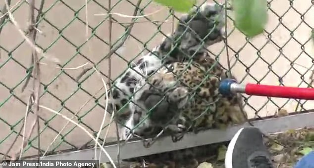 The animal was held motionless against the barrier while a man climbed down from a nearby tree and another approached from the opposite direction with a net