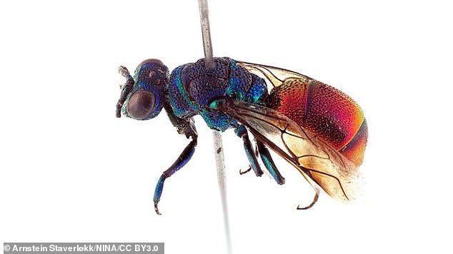 Researchers in Norway were able to determine Chrysis parabrevitarsis was a new species because it used a different 'language' than a nearly identical species. Cuckoo wasps infiltrate nests by mimicking their victims' pheromones