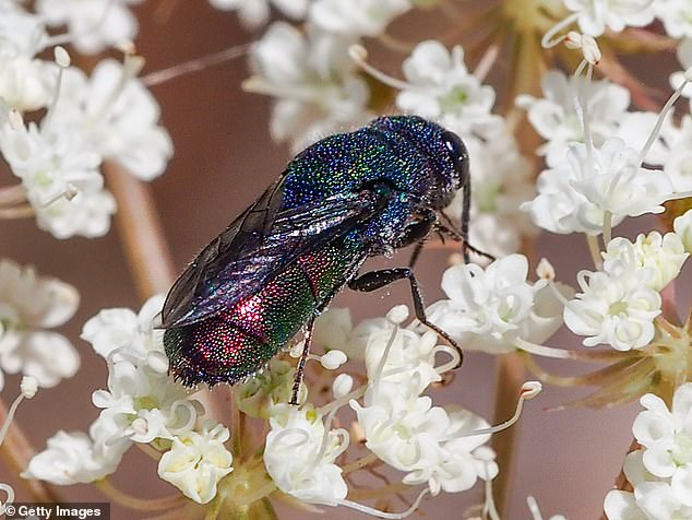 Cuckoo wasps, like thisChrysis sexdentata, despot their eggs in another wasp's nest. Their larvae grow faster and hatch before their host's offspring, allowing them to eat their adopted 'siblings'