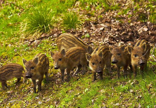 Wild boar are large animals which can weigh up to 220lbs, heavier than the average man, and stand around 2.6ft tall at the shoulder, the same height as a Great Dane. The grazing animals have a rough, dark top coat of fur and their young are a paler colour which darkens with age