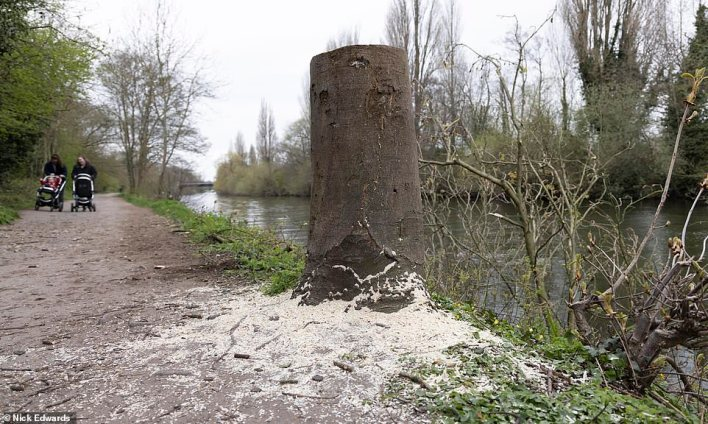 One frustrated local said: 'Why this person is doing it is beyond me. There are plenty of wooded areas nearby to go to but for some reason they are choosing to do it in a public area on the banks of the river'