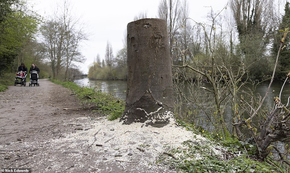 One frustrated local said:'Why this person is doing it is beyond me. There are plenty of wooded areas nearby to go to but for some reason they are choosing to do it in a public area on the banks of the river'