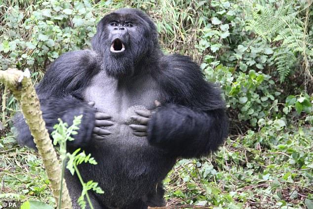 Investigadores alemanes encontraron que los gorilas más grandes hacen un ruido más profundo que sus compañeros más pequeños y el patrón de golpes de cada individuo es único