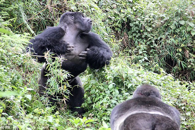 This silverback, known as GSH, beats his chest during an inter-group interaction at the Volcanoes National Park