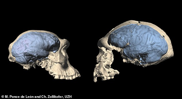 The researchers used computed tomography to examine the skulls of Homo fossils that lived in Africa and Asia 1 to 2 million years ago. They then compared the fossil data with reference data from great apes and humans. Pictured, skulls of early Homo from Georgia with an ape-like brain (left) and from Indonesia with a human-like brain (right)