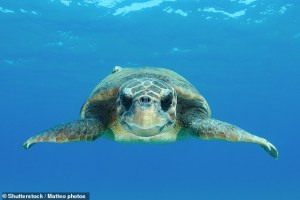 Nature: Intermittent hot passes let sea turtles cross cold waters during their 9,000-mile migrations