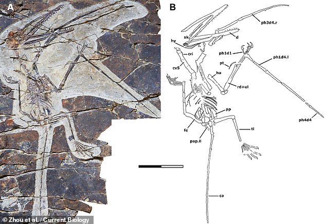 "'The fingers of ""Monkeydactyl"" are tiny and partly embedded in the slab,' said palaeontologist Fion Waisum Ma of the University of Birmingham. Pictured: the Kunpengopterus antipollicatus fossil specimen, which is housed in the Beipiao Pterosaur Museum of China"