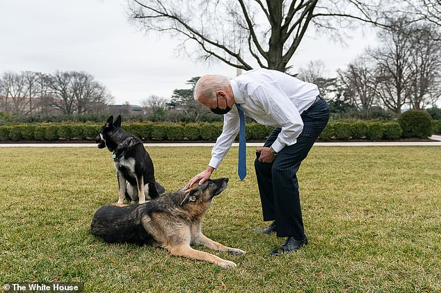 President Biden gives Champ a pat; the Bidens adopted Major to be the older dog's companion