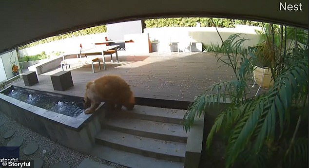 The bear drank from a water feature before entering the house through an open door