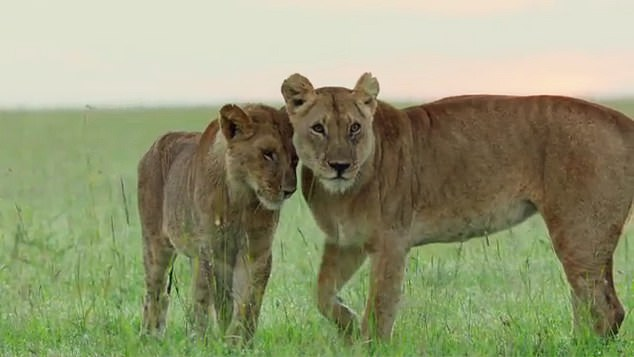 Image of a sick lion (left) with mother in an episode of the 2018 BBC documentary seriesDynasties, narrated by Sir David Attenborough. The researchers believe nature documentaries may have become a little too focused on drama and tension, rather than giving an accurate depiction of life in the wild