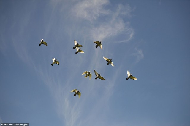 The 10 birds represent each decade of the Duke's life and will be released simultaneously across the UK. The Royal Family began to keep pigeons in the late 19th century and the tradition has been maintained by the Queen