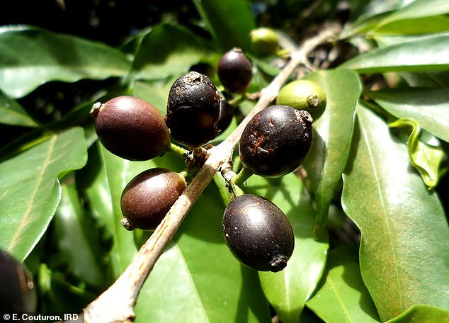 Coffea stenophylla (pictured) has the unique combination of tolerance to high temperatures and a superior flavour, and could soon be grown commercially, scientists believe