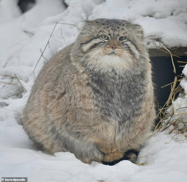 A user, from an unknown location, shared a picture of a large fluffy cat sitting in the snow