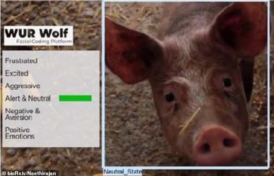 An AI-powered computer system has been created which identifies the emotional state of farm animals and if they are happy or not. Pictured one of the images the system was trialled on which reveals a pig which was classified as 'alert and neutral'