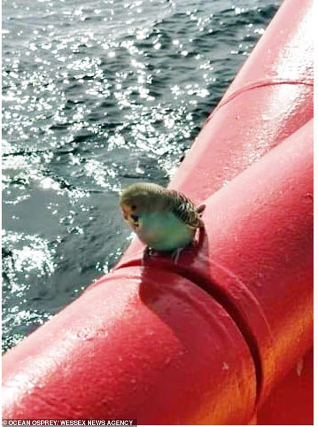 Chief engineer Tomasz Stefanik spotted a blue and yellow feathered stowaway on deck when the ship was 25 miles off the Cornish coast from Plymouth