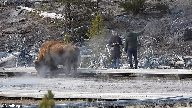 Dramatic footage shows the moment a couple came dangerously close to a bison at the Yellowstone National Park in Wyoming