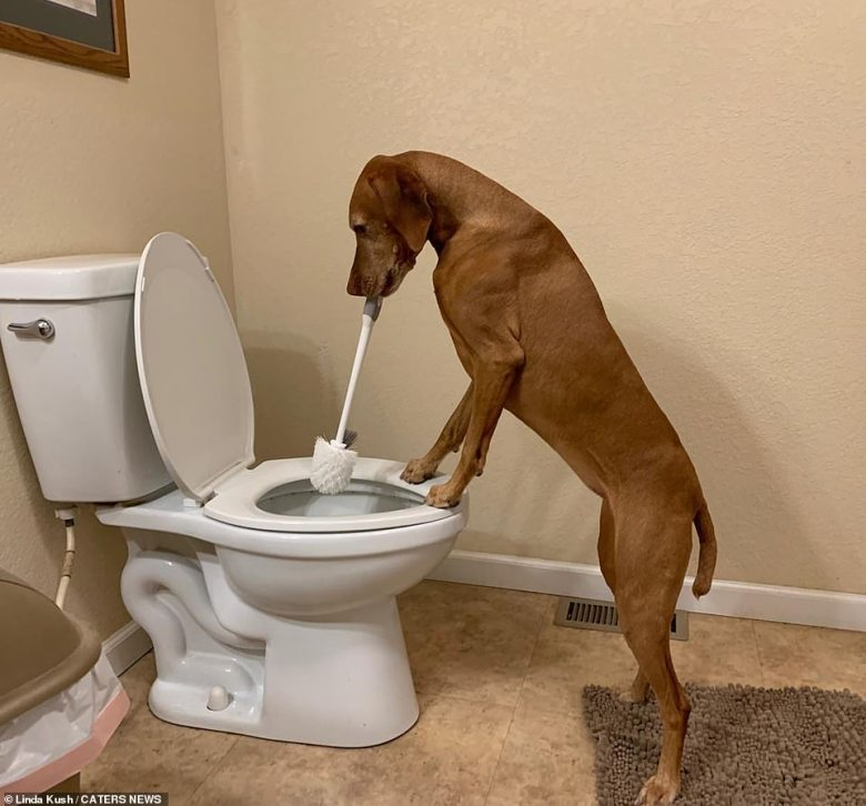 Anything is pawsible: Roxie earns her keep by cleaning the toilet at her home in Missouri, US