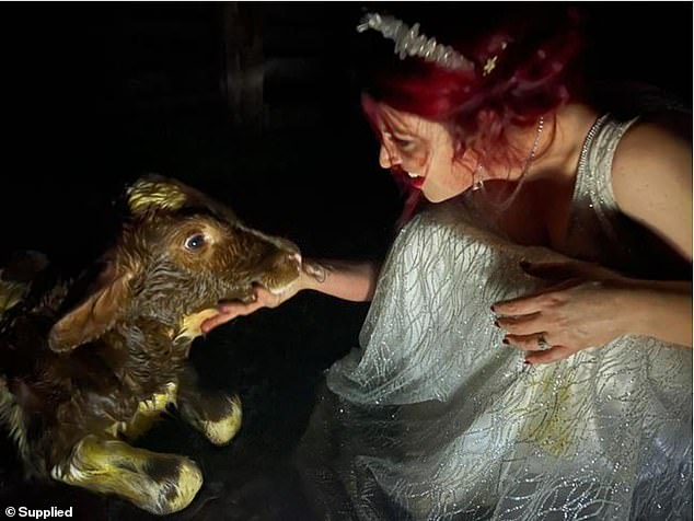 The heavily pregnant dairy cow gave birth to a baby calf during the reception of Jess and Ben Laws wedding on April 24