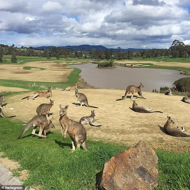 Family of beloved kangaroos hopping around a golf course is saved from being culled after 80 angry residents stood in front of armed hunters paid to shoot them