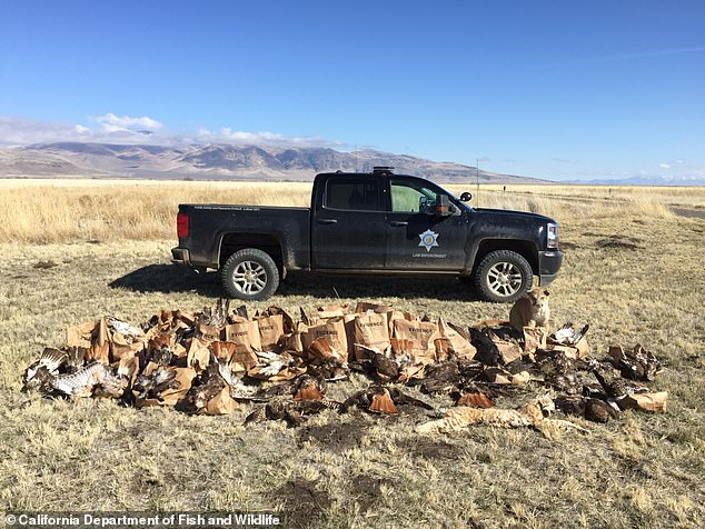 While executing a search warrant on Parker's 80-acre property near Standish, California, California Department of Fish and Wildlife found carcasses of more than 135 birds and mammals, including the hawks and taxidermy mountain lion pictured here