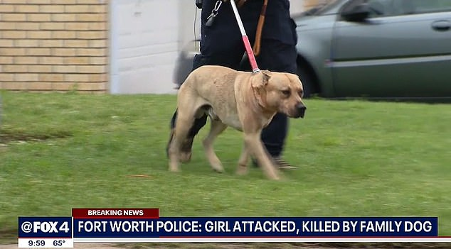 Texas girl, 4, who was mauled to death by a dog in her backyard, Swahili Post