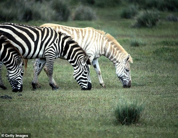 Zebras are known for their black and white stripes, but over several years scientists have noticed some of the animals bear spots, odd patterns and even gold fur