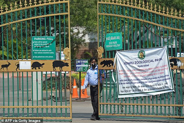 Nehru Zoological Park officials (above) reportedly tested lions for Covid after wildlife vets noticed the felines were showing symptoms of the virus, including loss of appetite and coughing.