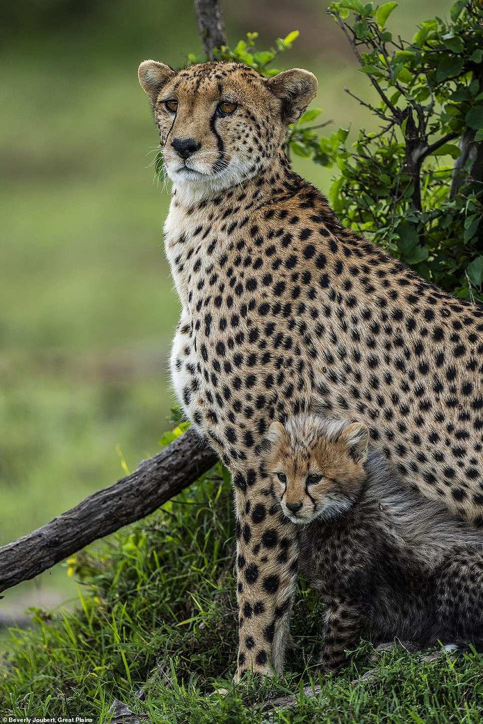 The Jouberts say: '[We have seen] very disturbing and massive declines in wildlife in our lifetimes. When we were both born there were 450,000 lions and today, we may have 20,000. Leopards from 700,000 to 50,000 and cheetahs are now below 7,000 from 45,000. Elephants have dipped from three million to 400,000.' This picture was snapped in Kenya near the incredible Mara Plains Camp