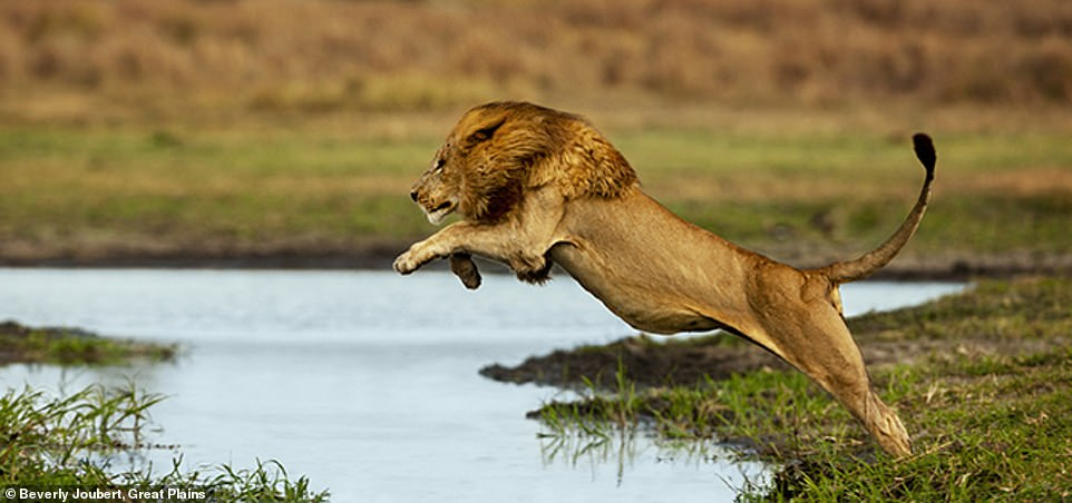 Here Beverly captures the male lion in Botswana demonstrating its agility as it leaps over a pool of water